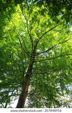 Baldcypress, Cypress, Sothern cypress - stock photo