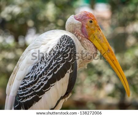 Baldheaded stork in Mysore Zoo, India - stock photo