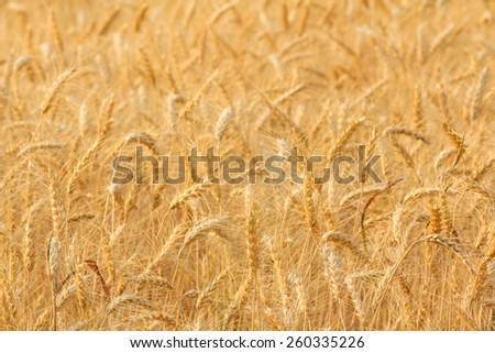 Bales in field,soft focus
