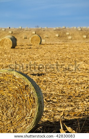 bales of harvested corn in field - stock photo