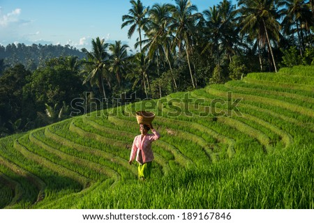BALI - APRIL 12, 2014: An unidentified lady with a basket on her head walks across the terraced rice fields in Bali, Indonesia. Farming is an important industry especially on the fertile volcano soil. - stock photo