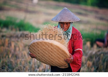 BALI, INDONESIA - JUNE 2: Asian women sifts rice at the rice field. - stock photo