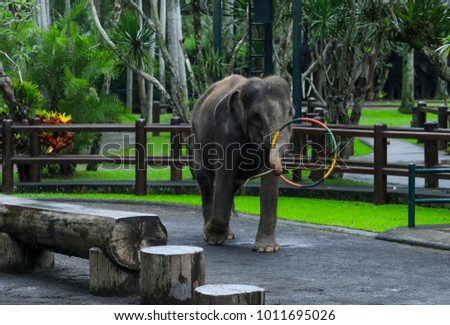BALI, INDONESIA - NOVEMBER 17, 2017 : Sumatran elephant during show at Mason Elephant Safari Park & Lodge in Ubud, Bali.