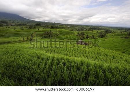 Bali - Jati Luwih Rice Terraces - stock photo