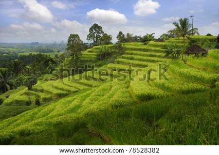 Bali - Jati Luwih Rice Terraces - stock photo