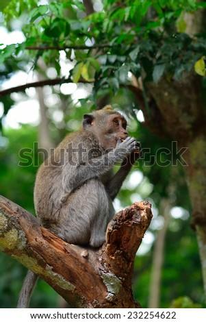 Bali macaque, Bali, Indonesia - stock photo