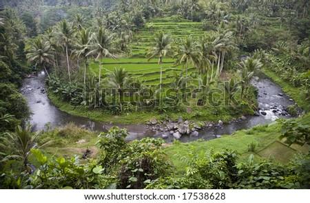 Bali ricefield - stock photo