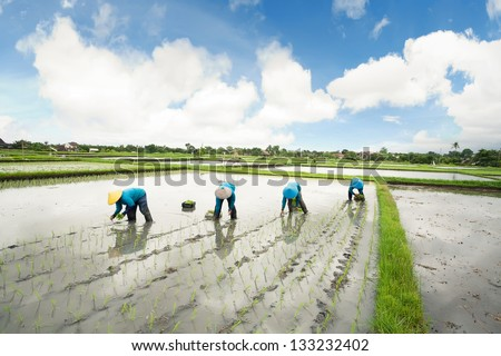 Balinese female farmers planting rice by hands.