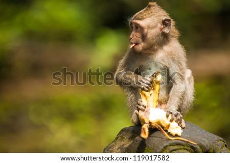 Balinese monkey with banana, Ubud Monkey Forest, Bali - stock photo