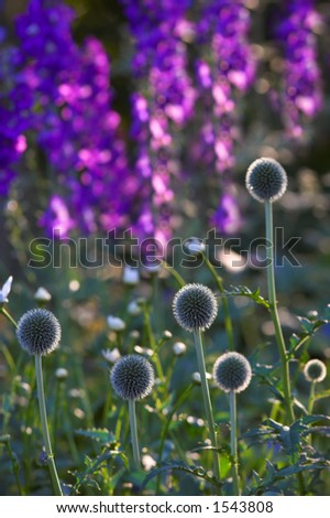Ball flowers in summertime