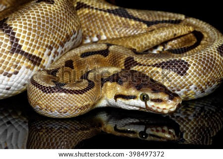 Ball or Royal python (Python regius) close-up on black background with reflection - stock photo