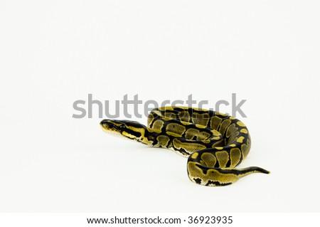 Ball Python - stock photo