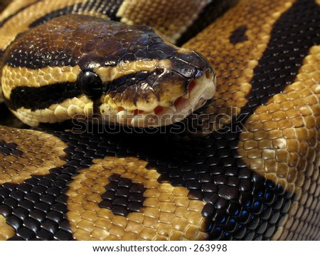 Ball Python close up - stock photo