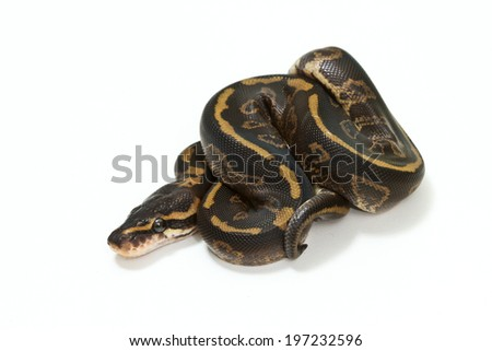 ball python isolated on white background.