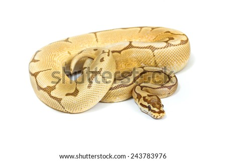 ball python  on white background. - stock photo