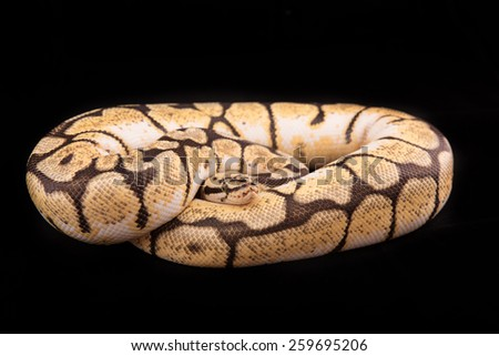 Ball python or Royal python on black background, Bumblebee morph or mutation - stock photo