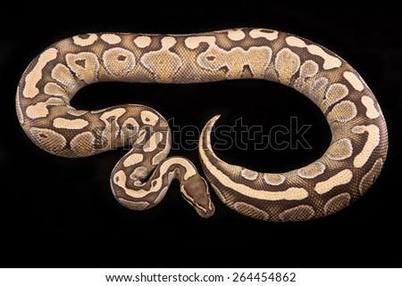 Ball Python or Royal Python on Black Background, Lesser Platinum Morph or Mutation - stock photo