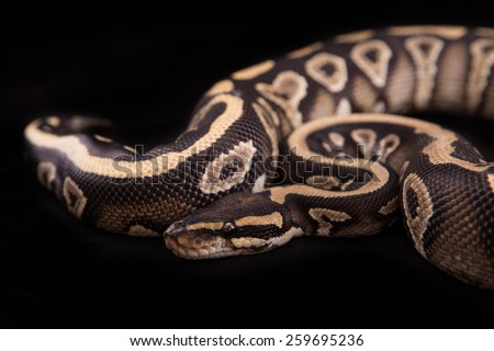 Ball python or Royal python on black background, Phantom Yellow Belly morph or mutation - stock photo