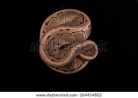 Ball Python or Royal Python on Black Background, Pinstripe Morph or Mutation - stock photo