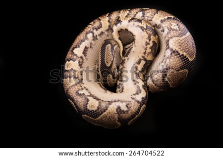 Ball python or Royal python on black background, Yellow Belly morph or mutation