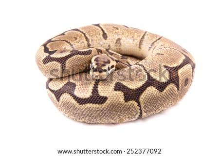 Ball python or Royal python on white background, Fire Spider morph - stock photo