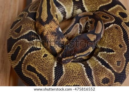 Ball Python White Tail On Wood Floor In Studio