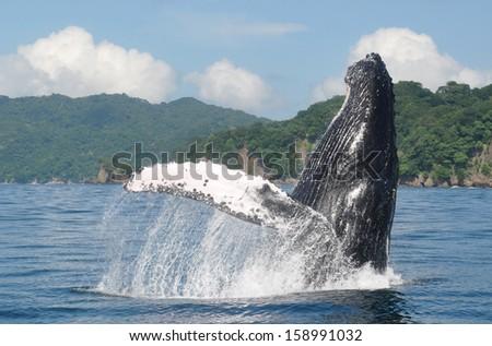 Ballena saltando en la costa de del Pac�fico, Costa Rica. - stock photo