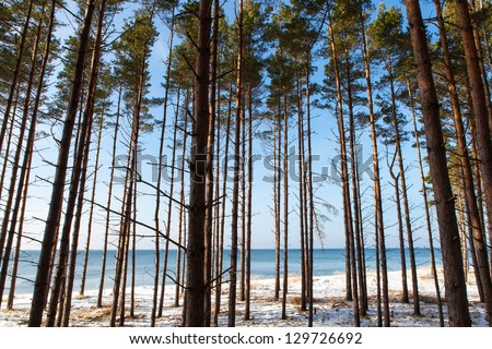 Baltic sea view through the pine tree forest in winter - stock photo