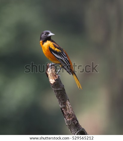 Baltimore Oriole Male perched on a branch