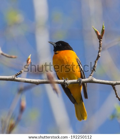 Baltimore Oriole perched on a branch