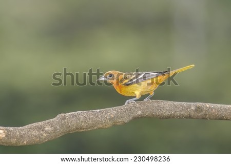 Baltimore Oriole perched on a branch in Costa Rica. - stock photo