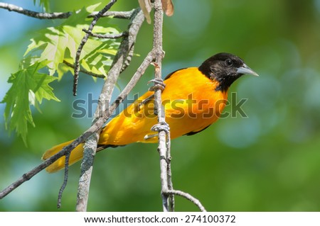 Baltimore oriole perched on the branch of a tree. - stock photo