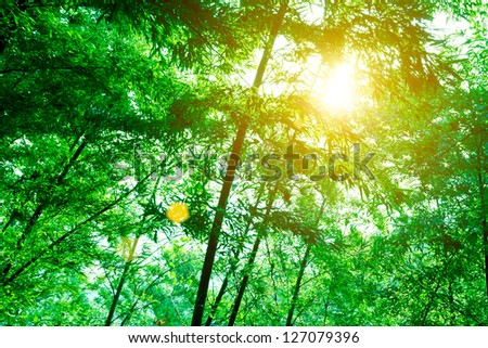 Bamboo forest. Asian Bamboo forest with morning sunlight - stock photo