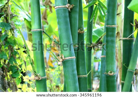 Bamboo forest, bamboo forest in Thailand - stock photo