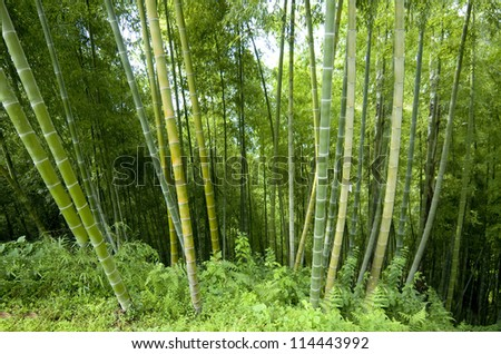 Bamboo forest.Batumi Botanical Park .Georgia - stock photo