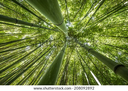 bamboo forest - fresh bamboo background - stock photo
