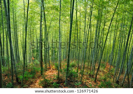 Bamboo forest in the late afternoon sun - stock photo