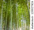 bamboo forest in the outdoor - stock photo