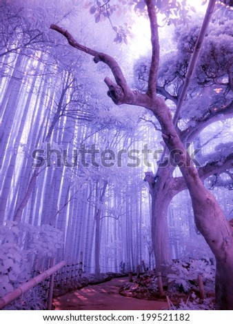 Bamboo Forest, Kamakura, Japan. Extended infrared. - stock photo