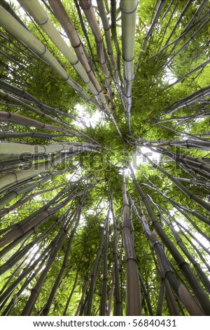 bamboo forest looking up at the sky jungle rainforest background lush vegetation tall grasses in exotic garden lines coming together in center thick stems going up green rain forest background - stock photo