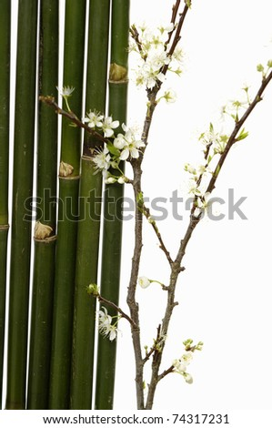 bamboo grove and branch of pear tree with buds in springtime - stock photo