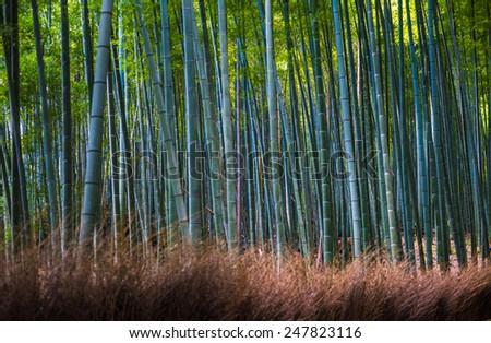 Bamboo grove in Arashiyama, Kyoto, Japan - stock photo
