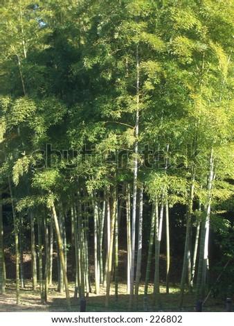 Bamboo grove in the Emperor's garden, Tokyo, Japan. - stock photo