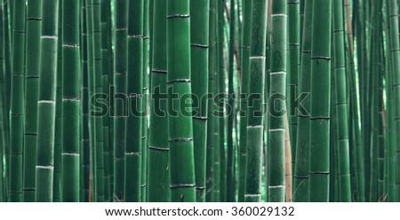 Bamboo Grove panorama in Arashiyama, Kyoto, Japan. - stock photo