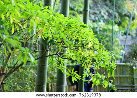 https://thumb9.shutterstock.com/display_pic_with_logo/167494286/762319378/stock-photo-bamboo-in-a-garden-762319378.jpg