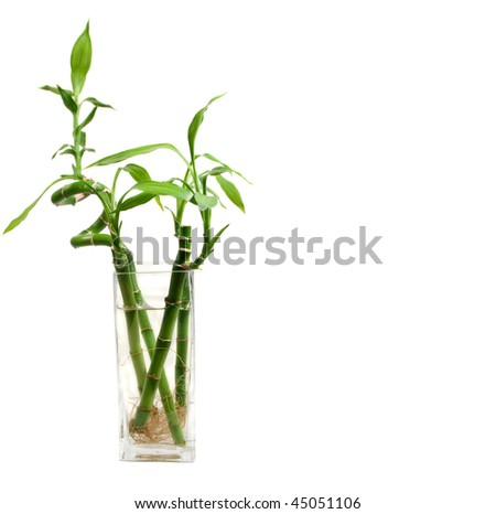 bamboo leaves and roots in a clear glass vase with copy space on the right - stock photo