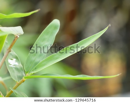Bamboo leaves natural background