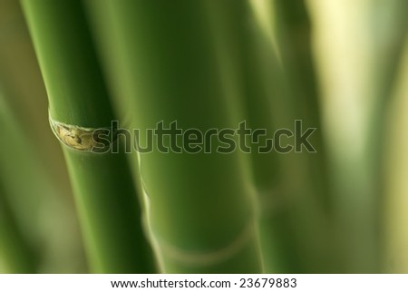 Bamboo plant with shallow depth of field (dof) - stock photo