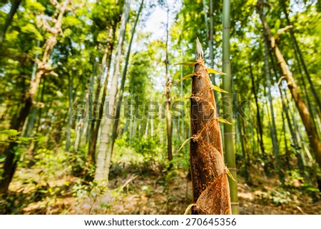 bamboo shoots of the growth in the forest - stock photo