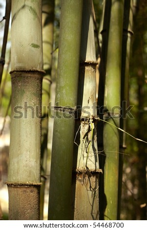 Bamboo stalk in a tropical rain forest, Doi Suthep, Chiang Mai, Thailand